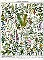 Plantes médicinales planche 1 - Medicinal plants, medical herbs, botanical illustrations, plate 1 - Public domain illustration from Larousse du XXème siècle 1932.jpg