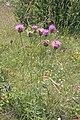 Plants in Gorges du Tarn8.JPG
