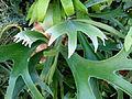 Platycerium alcicorne (leaves).JPG