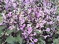 Plectranthus hybridus.jpg