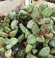 Pleiospilos willowmerensis.jpg