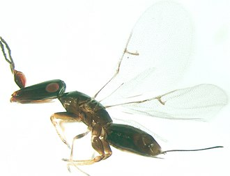 Fig wasp - Pleistodontes sp. female