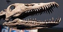 Rechte Seitenansicht eines Schädels eines Plesiosauriers, der seine Zähne zeigt