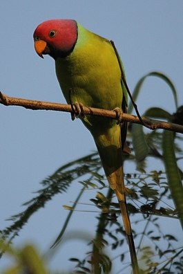 Plum headed parakeet (3) (cropped).jpg