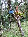 Podocarpus Ecuador208.JPG