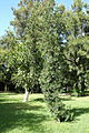 Podocarpus neriifolius - Jardim Botânico Tropical - Lisbon, Portugal - DSC06601.JPG