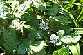Podophyllum hexandrum 1.JPG