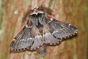 Piccola madre pioppo (Poecilocampa populi), ♂