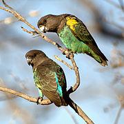 Two brown parrots. Their underplumage is turquoise-green.