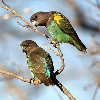 Meyer's parrot - P. m. transvaalensis pair in Zimbabwe