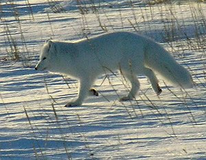 The Life of Mammals - The coat of the Arctic fox (Vulpes lagopus) both provides it with protection from the cold and camouflages it.