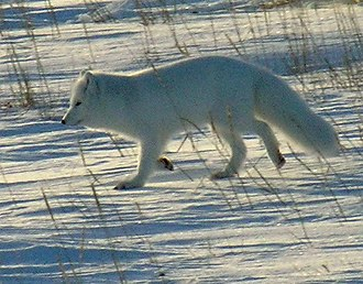 Deadhorse, Alaska - Arctic foxes are among the wildlife sometimes seen in the Deadhorse area.