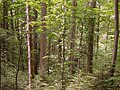 Poloniny - Beech forest virgin area 01.JPG