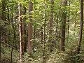 Poloniny - Beech forest virgin area 01.JPG