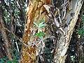 Polylepis racemosa tronc.JPG