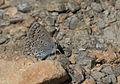 Polyommatus icarus - Çokgözlü mavi 09.jpg