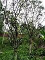 Polyscias racemosa (5187709183).jpg