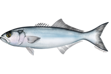 bluefish wikipedia the free encyclopedia blue fish 220x133