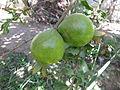 Pomegranate - മാതളനാരകം 07.JPG