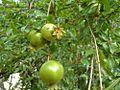 Pomegranate Nuwakot Nepal 1.jpg