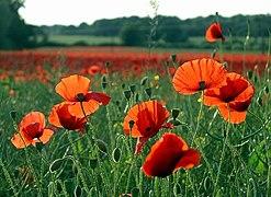 Poppies - geograph.org.uk - 847625.jpg