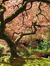 Portland Japanese Garden maple.jpg