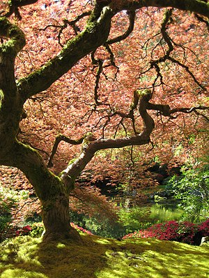 A Japanese Maple in the Portland Japanese Garden.
