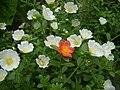 Portulaca olearacea white.JPG