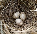 Possibly Meadow Pipit nest and eggs (31232410284).jpg