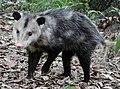 Possum20040508.jpg
