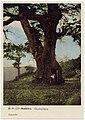 Postal. B.P. 127 - Madeira. Castanheiro.jpg