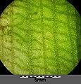 Potamogeton nodosus sl12.jpg