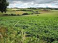 Potato crop between Bromsash and Linton - geograph.org.uk - 915761.jpg