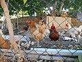 Poules de Riaux.jpg