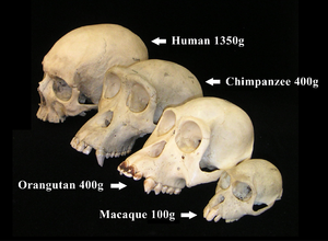 Primate skulls provided courtesy of the Museum...