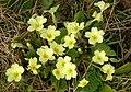 Primroses (Primula vulgaris) - geograph.org.uk - 421763.jpg