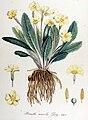 Primula acaulis — Flora Batava — Volume v14.jpg