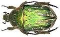Protaetia prolongata Gory & Percheron, 1833 (3603286447).jpg