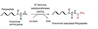 Coactivator (genetics) - Image: Protein Acetylation Figure 2