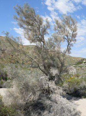 Carl Eytel - Smoketree (Psorothamnus spinosus)