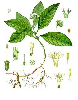 <i>Carapichea ipecacuanha</i>
