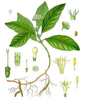 Carapichea ipecacuanha - Image: Psychotria ipecacuanha Köhler–s Medizinal Pflanzen 251