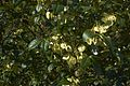 Ptelea trifoliata A.jpg