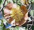Pterocarpus angolensis.jpg