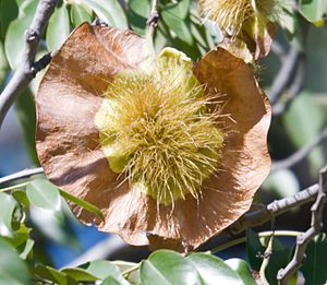 Pterocarpus angolensis - Kiaat seed in autumn, photographed in South Matabeleland, Zimbabwe