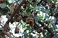 Pteropus scapulatus (23958390104).jpg