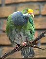 Ptilinopus aurantiifrons -Berlin Zoo-8a focussed.jpg