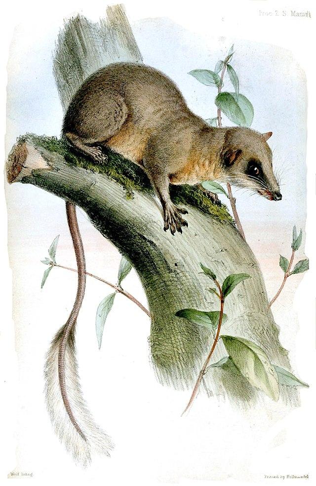Ptilocercus lowii.jpg