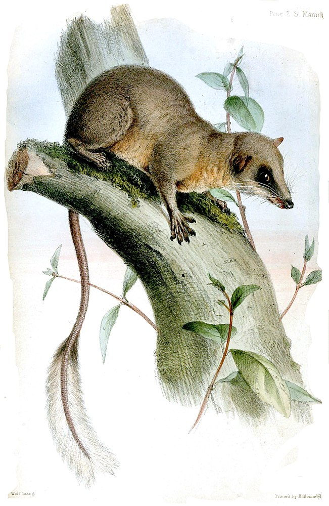 The average adult weight of a Pen-tailed treeshrew is 42 grams (0.09 lbs)