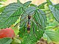 Ptychoptera albimana (Diptera sp.) female, Texel, the Netherlands.jpg
